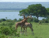 Male Giraffes at fight in Africa Stock Images