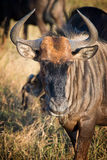 Male gnu, South Africa Stock Photo