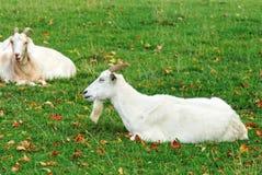 Male goat Stock Photo