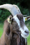 Male Goat Stock Images