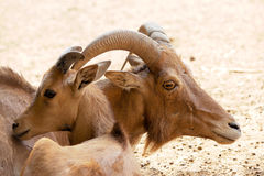 Male goat. Barbary sheep and its young lamb Stock Photography