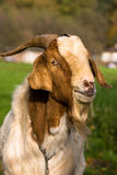 MALE GOAT. A beauty MALE GOAT in nature Stock Photo