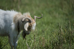 Male goat Royalty Free Stock Images