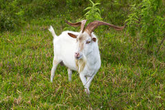 Male goat, colombia Stock Photo