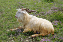 Male goat with curved horns lying down Royalty Free Stock Image