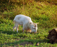 Male goat eating grass Royalty Free Stock Photo