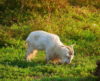 Male goat eating grass Stock Photography