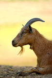 Male goat on farm. A male goat laying down at a farm Royalty Free Stock Images