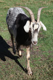 Male goat Royalty Free Stock Photography