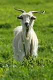 Male goat on green lawn Stock Photography