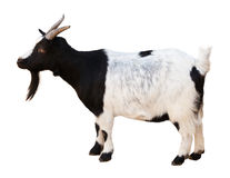 Male goat. Isolated over white Stock Image