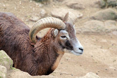 Male goat of Montecristo Island (Capra aegagrus hircus). A male goat of Montecristo Island (Capra aegagrus hircus) with typical long curved horns, beetwen the Stock Photos