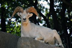 Male goat sitting on a rock looking at the camera showing off its horns royalty free stock photography