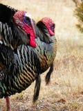 2 male gobbler turkeys with beard Royalty Free Stock Photo