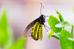 Male golden birdwing butterfly Royalty Free Stock Photography