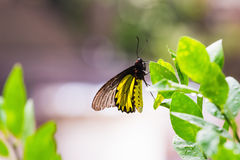 Male golden birdwing butterfly Royalty Free Stock Image