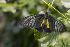 Male Golden Birdwing, folded wings Royalty Free Stock Photography