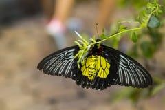 Male Golden Birdwing, Underside Stock Photo