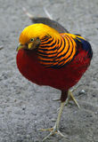 Male Golden or Chinese pheasant Chrysolophus pictus Royalty Free Stock Photography