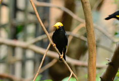 Male Golden-crested Myna (Ampeliceps coronatus) Stock Photography