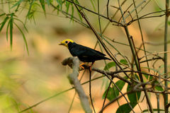 Male Golden-crested Myna (Ampeliceps coronatus) Stock Image
