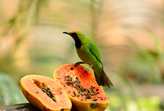 Male Golden-fronted Leafbird (Chloropsis aurifrons) Royalty Free Stock Photo