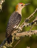 Male golden-fronted woodpecker Royalty Free Stock Image