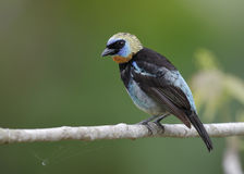 Male Golden-hooded Tanager - Panama Stock Image