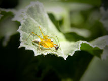 Male Golden Lynx spider 1 Royalty Free Stock Photo