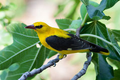 Male golden oriole on a fig tree with fruit. A male eurasian golden oriole (Oriolus oriolus) on a fig tree with fruit Stock Image