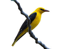 Male Golden Oriole isolated. Golden Oriole male isolated on white background Royalty Free Stock Image