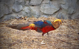 Male Golden Pheasant Royalty Free Stock Photography
