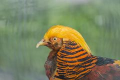 Male of the Golden Pheasant Stock Photos