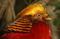 Male Golden Pheasant Stock Photo