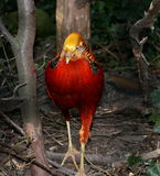 Male Golden Pheasant Royalty Free Stock Image