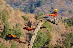 Male Golden pheasant. One male Golden pheasant stands on tree trunk and other two fly away. Scientific name: Chrysolophus pictus Royalty Free Stock Image