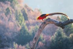 Golden pheasant. A male Golden pheasant stands on tree trunk in mountain forest. Scientific name: Chrysolophus pictus Royalty Free Stock Photo