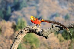 Male golden pheasant. A male Golden pheasant stands on tree trunk in mountain forest. Scientific name: Chrysolophus pictus Stock Image