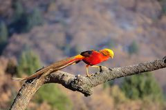 Male golden pheasant. A male Golden pheasant stands on tree trunk in mountain forest. Scientific name: Chrysolophus pictus Stock Photography