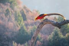 Golden Pheasant. A male Golden Pheasant stands on tree trunk. Scientific name: Chrysolophus pictus royalty free stock photography