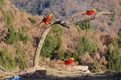 Male Golden pheasant. Three Golden pheasant search for foods in mountian forest. Scientific name: Chrysolophus pictus Stock Image