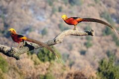 Male Golden pheasant. Two male Golden pheasant stand on tree trunk. Scientific name: Chrysolophus pictus Stock Photos