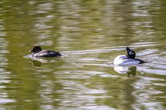 Golden eye, Inglewood Bird Sanctuary, Calgary, Alberta, Canada. Male Goldeneye courting display while a female swims near by Stock Image