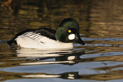 Male Goldeneye Duck Royalty Free Stock Photos