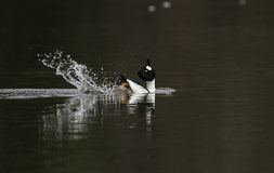 Male Goldeneye Royalty Free Stock Photos
