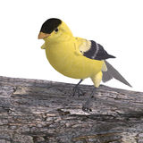 Male Goldfinch Royalty Free Stock Images