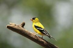 Male Goldfinch Royalty Free Stock Photography