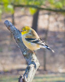 Male, Goldfinch Royalty Free Stock Photos