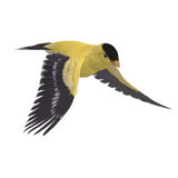 Male Goldfinch. 3D Rendering With Clipping Path Royalty Free Stock Image