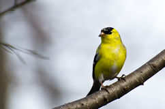 Male Goldfinch Perched on a Branch Stock Photo